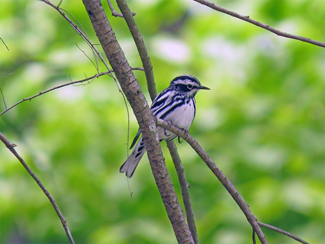 Black-and-White Warbler Photo by Ventures Birding
