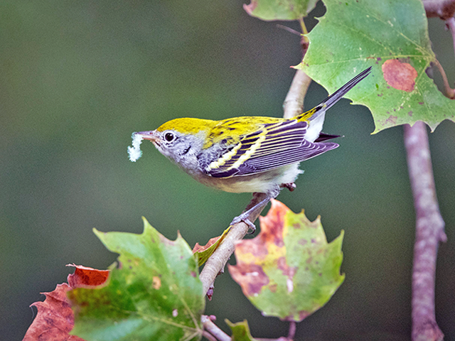 Chestnut-sided Warbler Photo by Bill Tynan