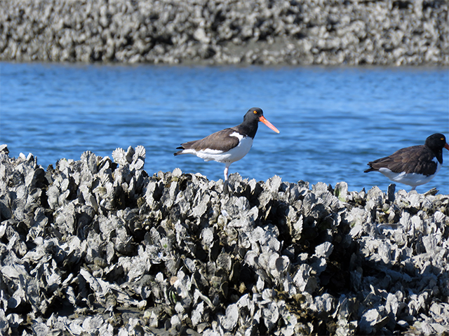 American Oystercatcher - Tybee Is, GA Photo by Ventures Birding Tours