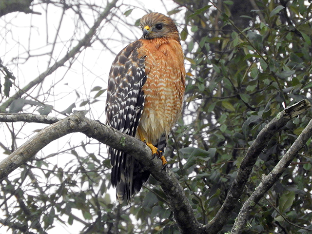 Red-shouldered Hawk St Simon's, GA Photo by Simon Thompson