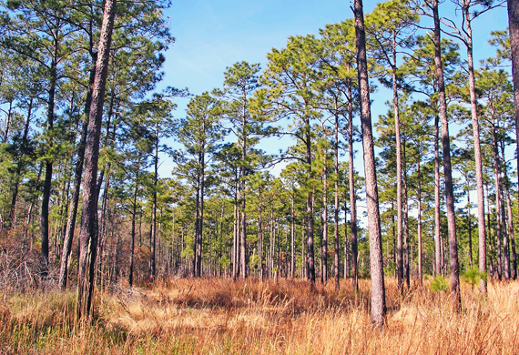 Long Leaf Pine Forest by Ventures Birding Tours