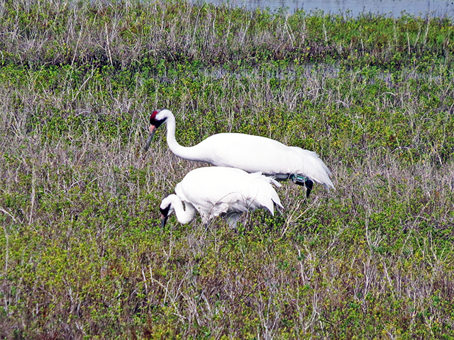 Whooping Crane Photo by Ventures Birding