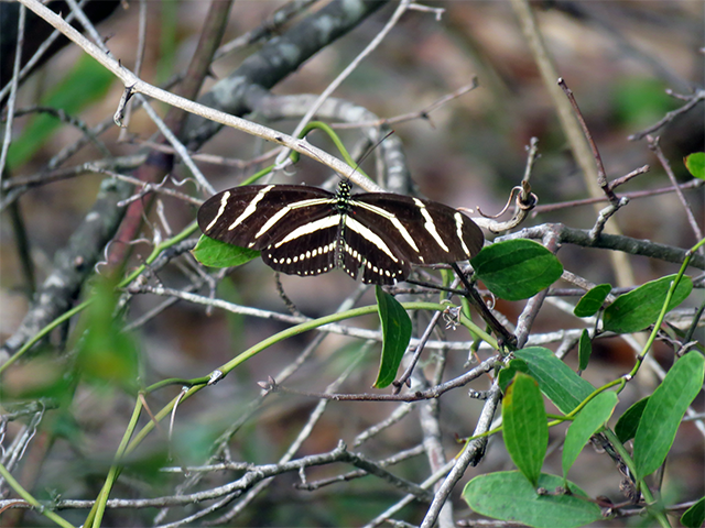 Zebra Longwing Jekyll Is., GA Photo by Ventures Birding Tours