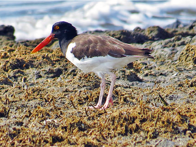 American Oystercatcher Photo by Keith Watson