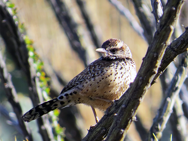 Cactus Wren Photo by Kevin Burke