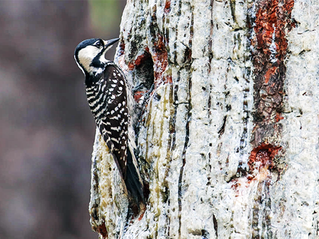 Red-cockaded Woodpecker by Martina Nordstrand