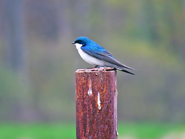 Tree Swallow Photo by Alan Lenk