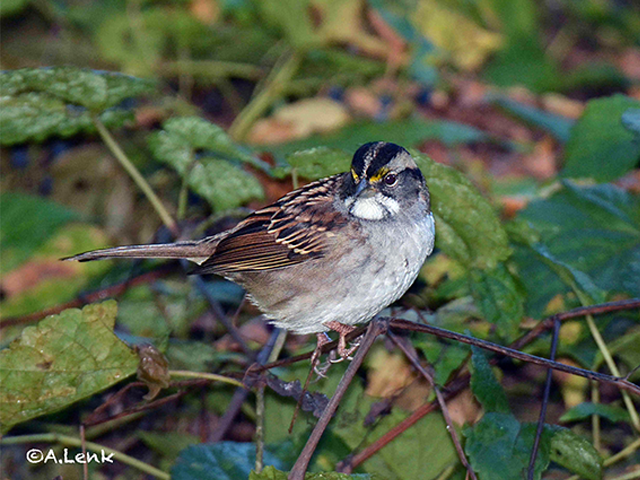 White-throated Sparrow Photo by Alan Lenk