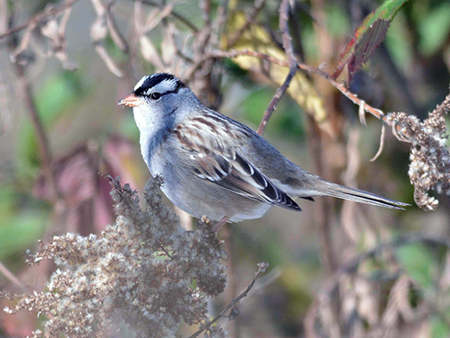 White-crowned Sparrow Photo by Alan Lenk