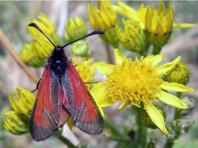 Cinnabar Moth Photo by Michael Werndly Tours