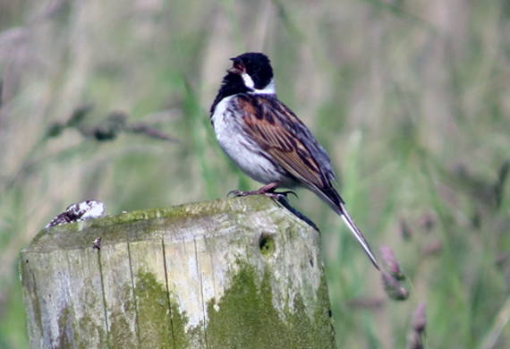 Reed Bunting by Simon Thompson