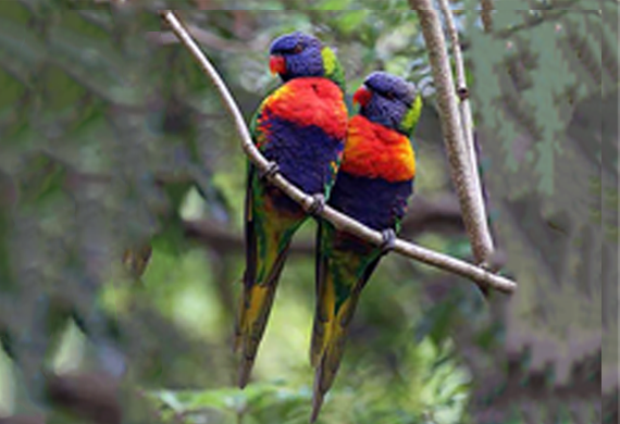 Rainbow Lorikeets by Ventures Birding