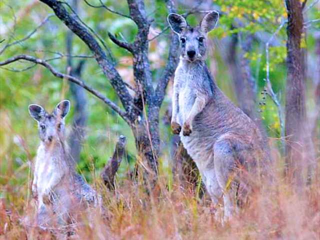 Grey Kangaroos Photo by Simon Thompson