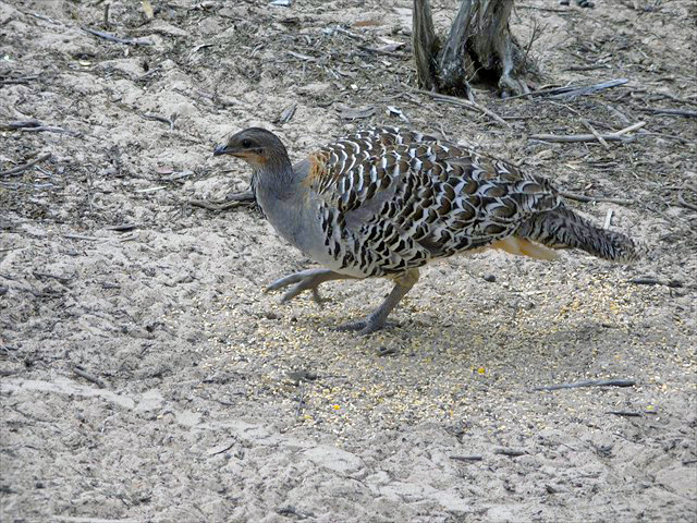 Malleefowl Photo by Ventures Birding