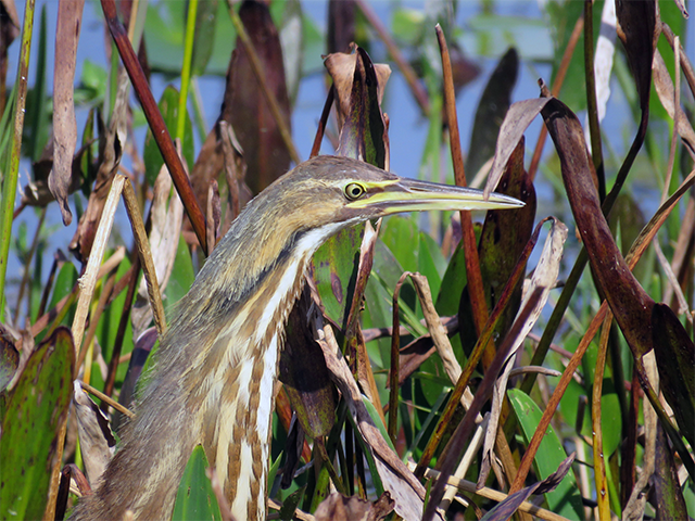 American Bittern - Orlando Wetlands Photo by Ventures Birding