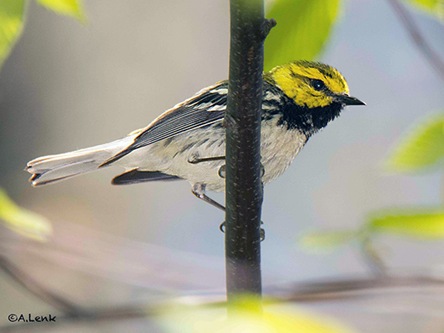 Black-throated Green Warbler Photo by Alan Lenk
