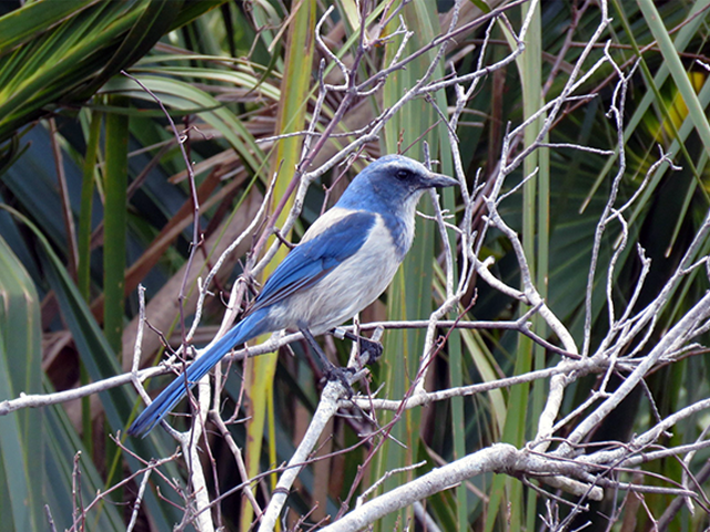 Florida Scrub-Jay  Photo by Ventures Birding