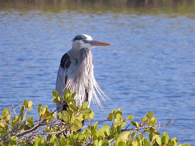 Great Blue Heron at Merritt Island Photo by Ventures Birding
