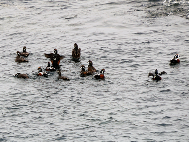 Harlequin Ducks Photo by Simon Thompson