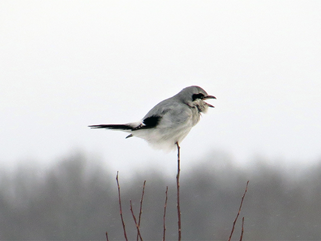 Northern Shrike Photo by Kevin Burke