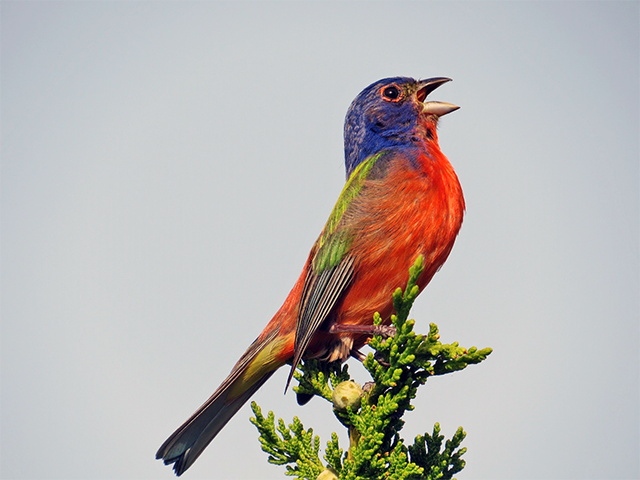 Painted Bunting Photo by Clifton Avery