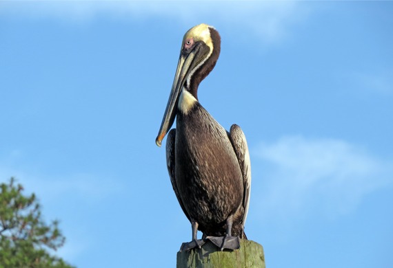 Brown Pelican by Simon Thompson