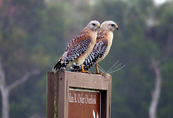 Red-shouldered Hawks by Ventures Birding