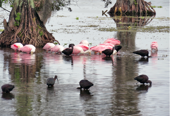 Roseate Spoonbills and Glossy Ibis by Simon Thompson