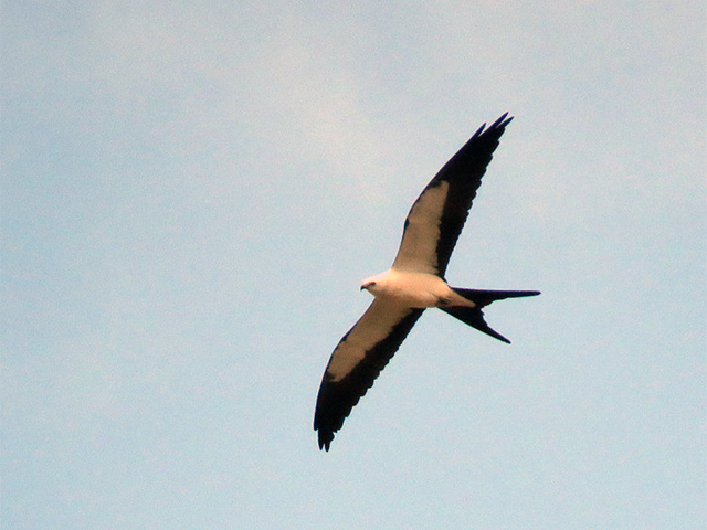 Swallow-tailed Kite by Simon Thompson