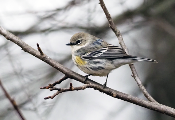 Yellow-rumped Warbler by Simon Thompson