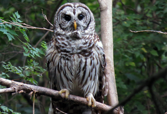 Barred Owl by Simon Thompson