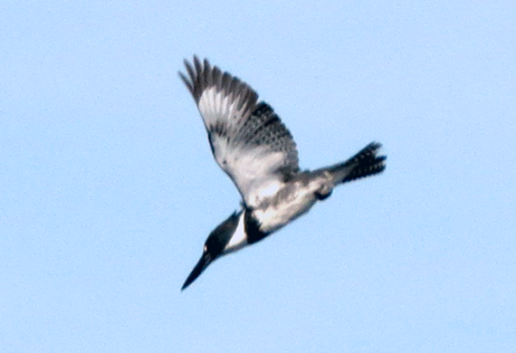 Belted Kingfisher by Ventures Birding Tours