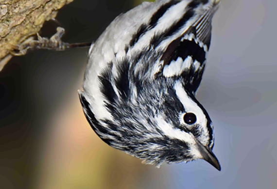 Black-and-White Warbler by Alan Lenk