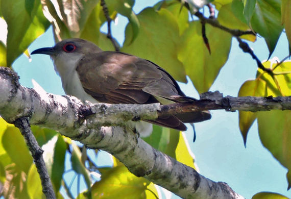 Black-billed Cuckoo Photo by Keith Watson