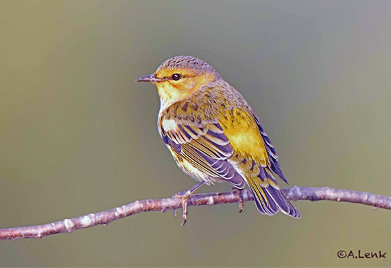 Cape May Warbler by Alan Lenk