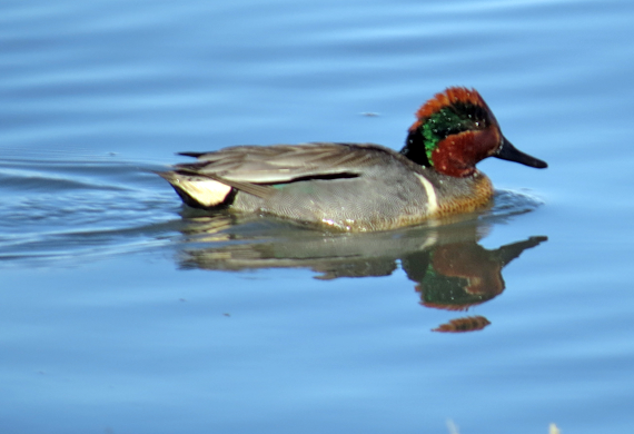 Green-winged Teal by Simon Thompson