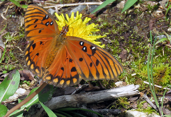 Gulf Fritillary by Ventures Birding Tours