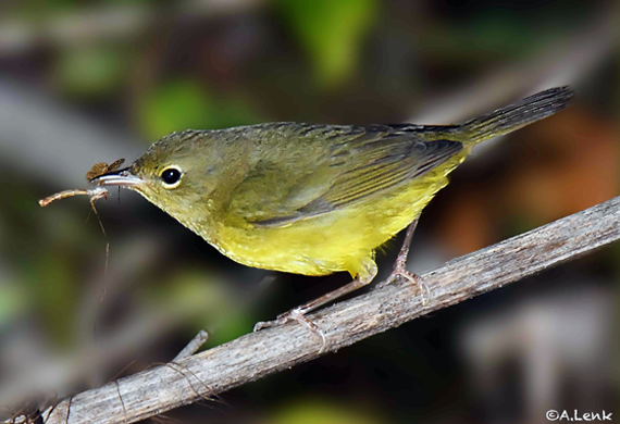 Mourning Warbler by Alan Lenk