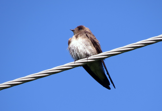 Northern Rough-winged Swallow by Simon Thompson