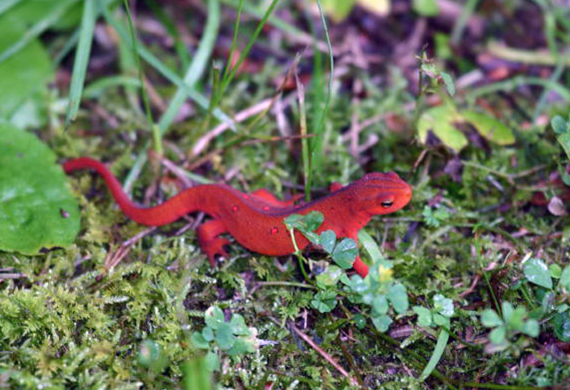 Red Salamander by Ventures Birding Tours