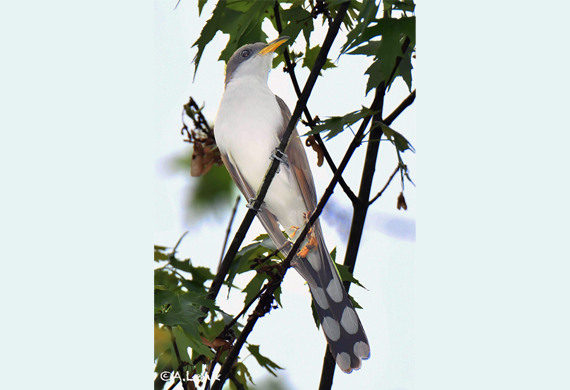 Yellow-billed Cuckoo by Alan Lenk
